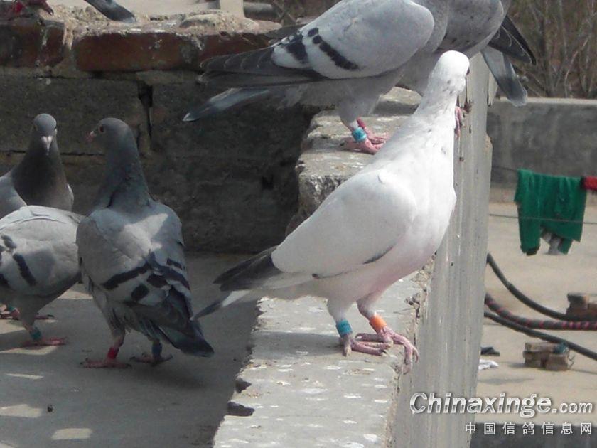 2013幼鸽生活照