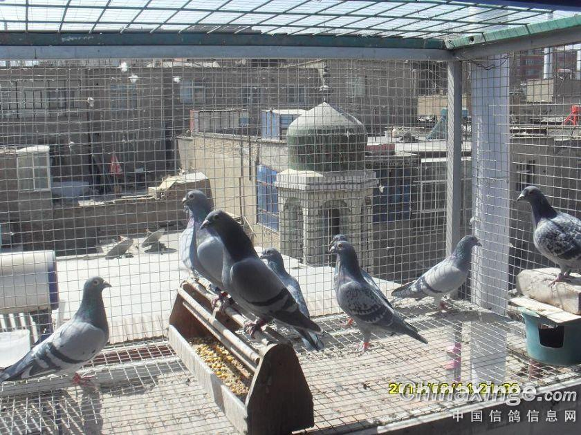 鸽子养殖棚设计图片