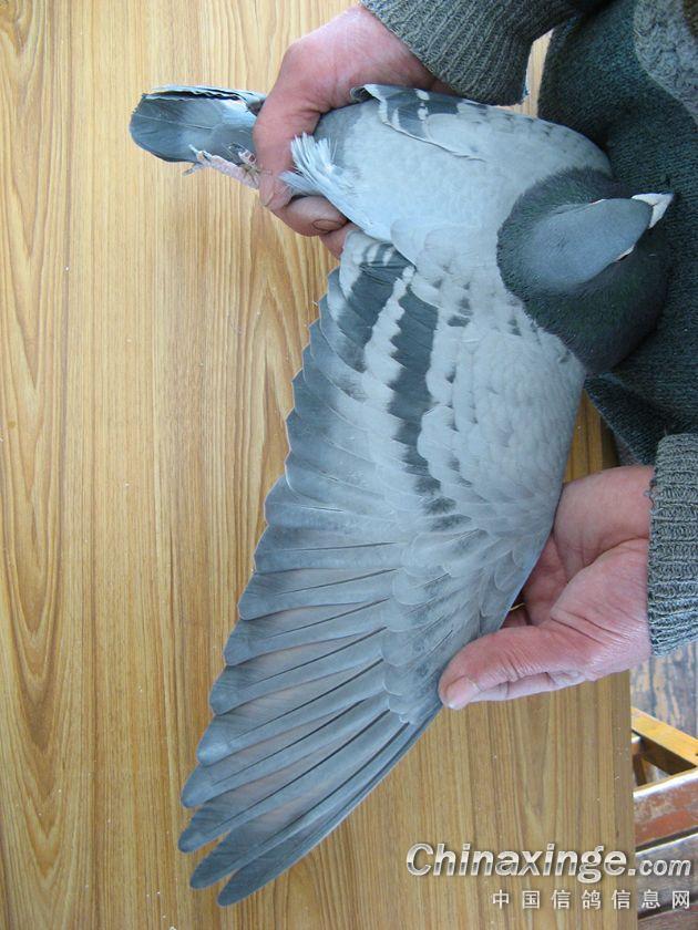 白沙软鹤翔图片