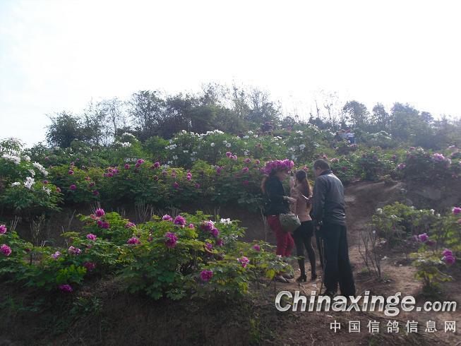 今天上午,是垫江牡丹园开园的第六天,雨后初睛,正是赏花的好节.