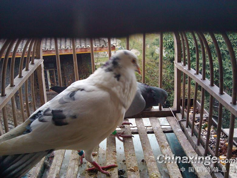 奇怪的花鸽