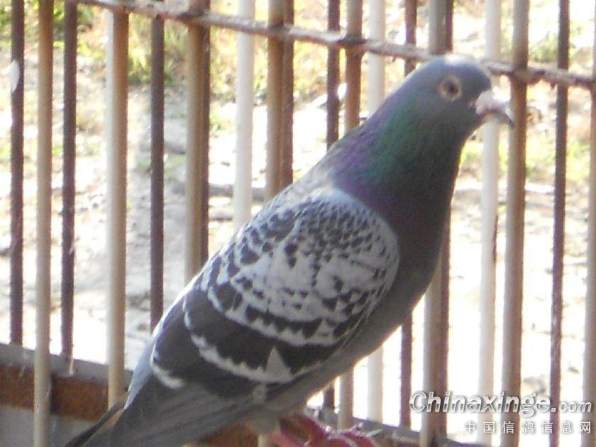 壁纸 动物 鸽 鸽子 鸟 鸟类 雀 840_630