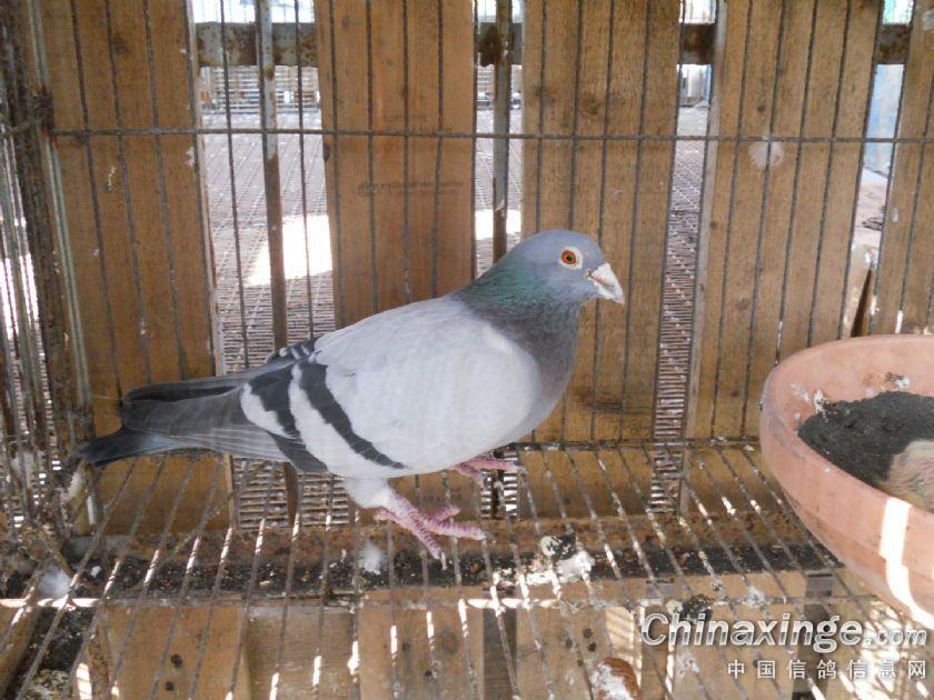 动物 鸽 鸽子 鸟 鸟类 840_630