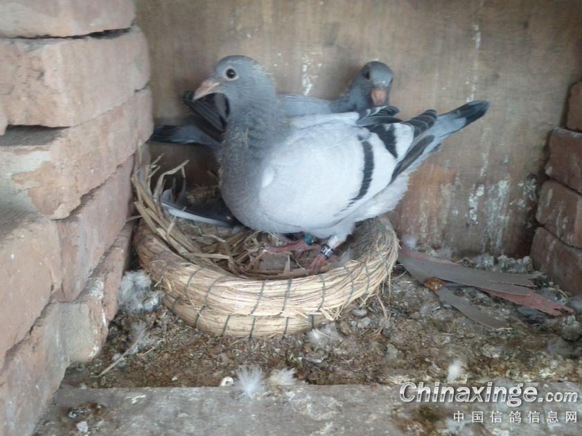 动物鸽视频鸟蝴蝶840_630比利时教程鸟类披肩鸽子