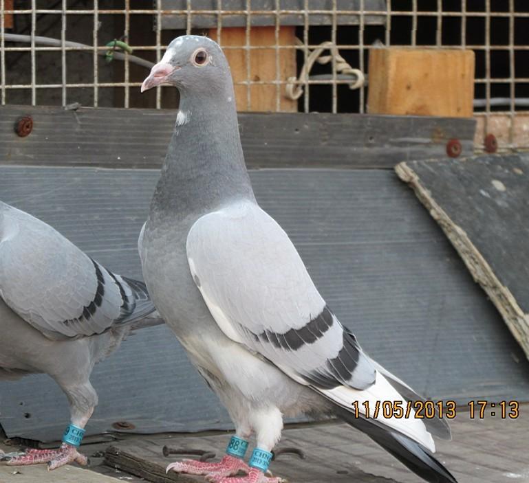 鸽子鸽苍蝇鸟动物769_703什么水不招鸟类图片