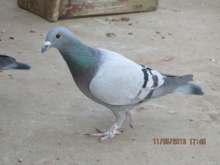 动物鸽鸽子鸟兔子840_630日本一个男和七个鸟类图片