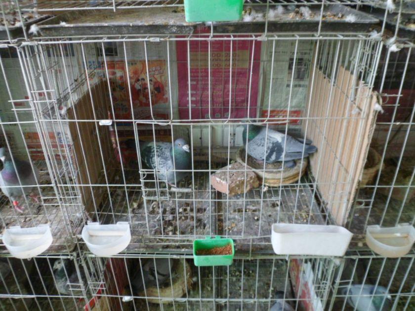 访乾能鸽业:2013年种鸽配对及特比坏开家--中