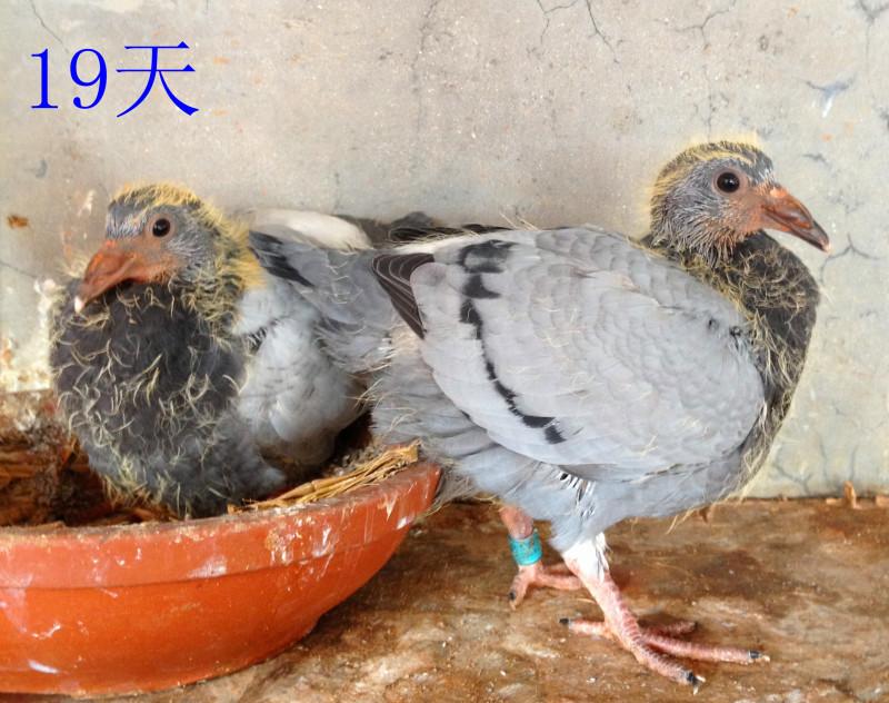记录一只幼鸽的成长