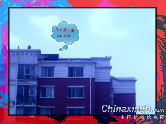 """""""信鸽梦""""助力""""中国梦"""""""