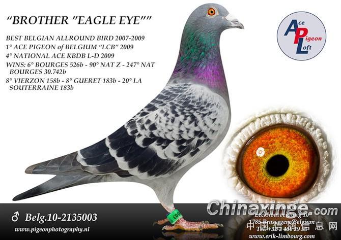 我的爱鸽 中国信鸽信息网相册 -我的爱鸽图片