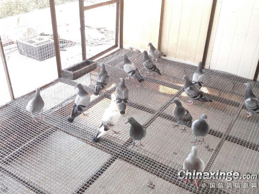 鸽子棚设计步骤