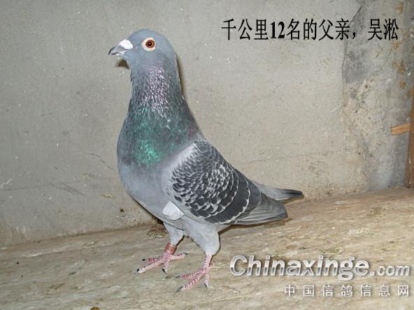 八岁吴淞的儿子--中国信鸽信息网相册