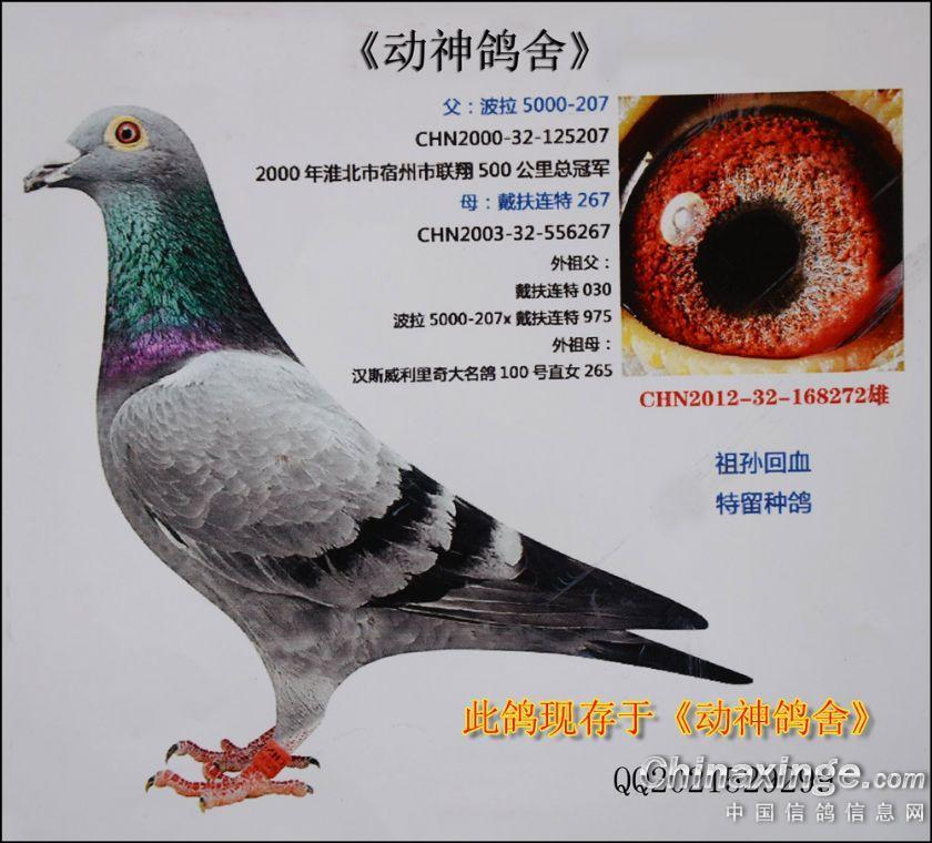 邓文敏超极种鸽图片; 翻拍了几张现存本鸽舍的画片;