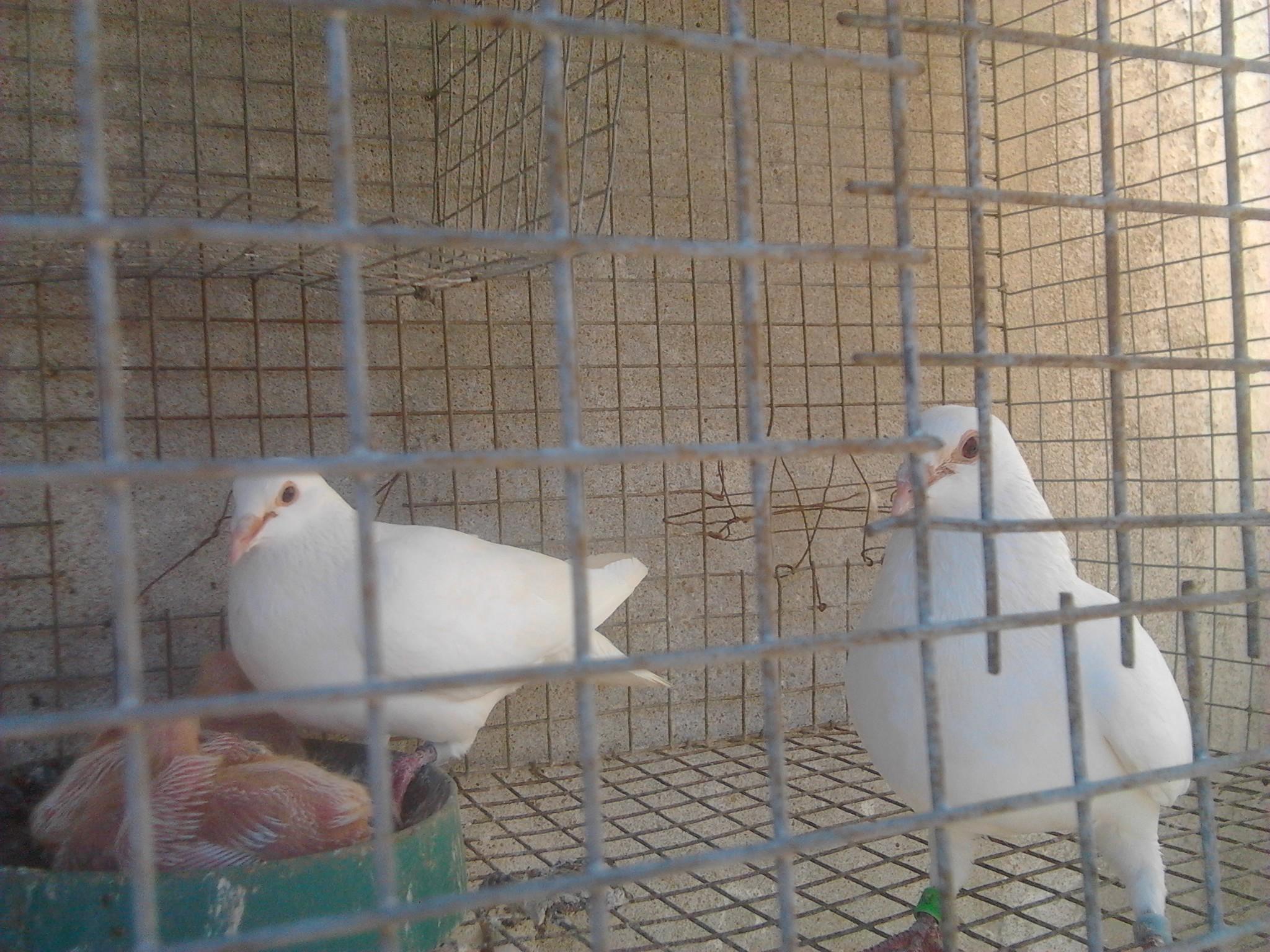 白色信鸽沙眼图片 什么是灰鸽子