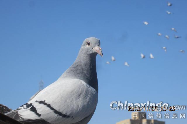 鸽子飞图片素材