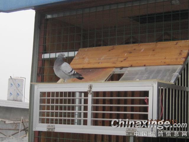 赛鸽欧式进笼口安装图片