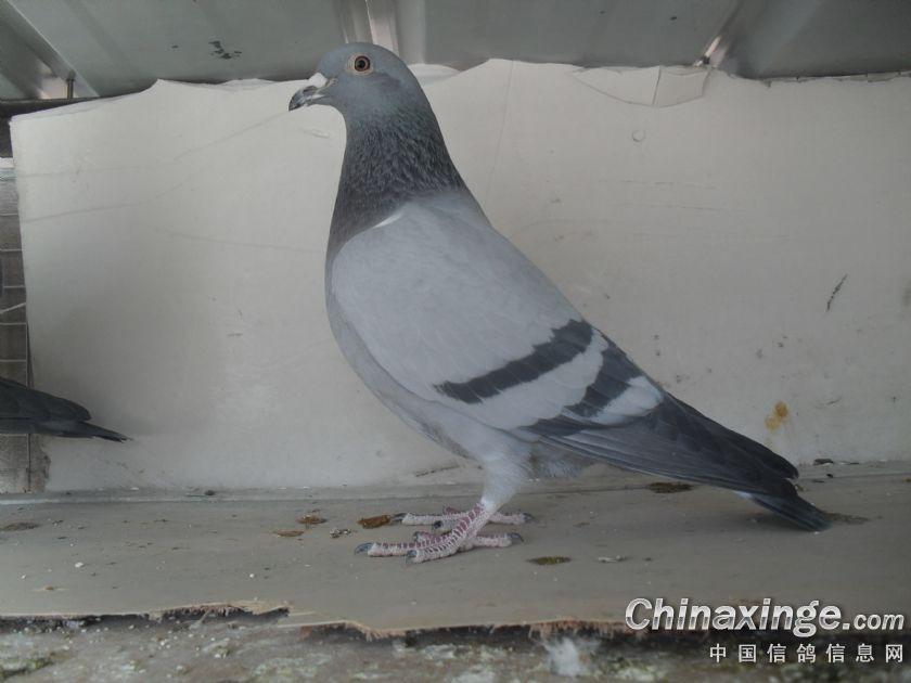 动物鸽鸽子鸟鹦鹉840_630鸟类虎皮脚烫伤流浓图片
