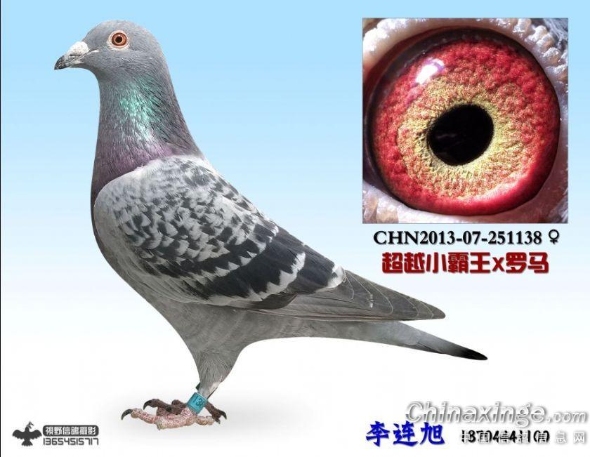 血统泰山号--中国信鸽信息网相册