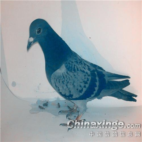 引进吴淞种鸽--中国信鸽信息网相册