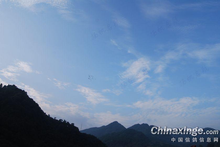 半个多月的梅雨,今日终于见到久违的蓝天白云!鸽儿翱翔蓝天白云间!图片