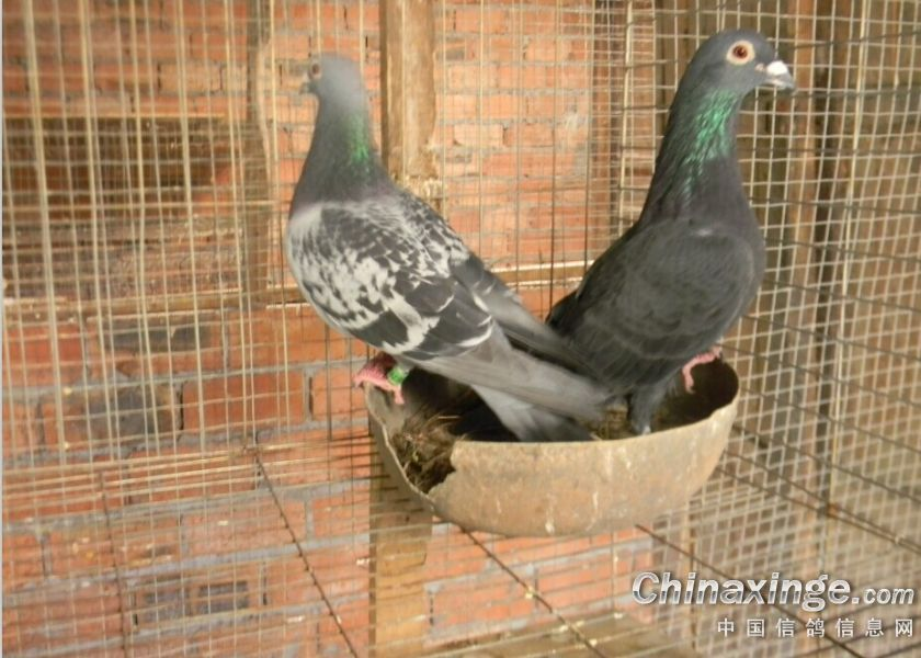白鸽配黑鸽黑雨点鸽子-白鸽配黑鸽图片
