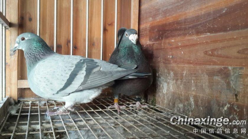 一信鸽舍种鸽图片欣赏
