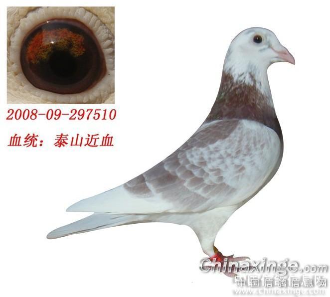 泰山鸽系欣赏--中国信鸽信息网相册