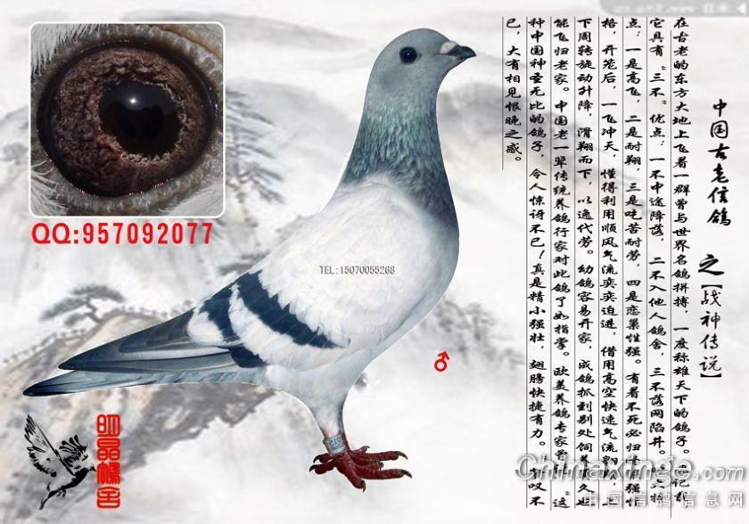 中国古老信鸽