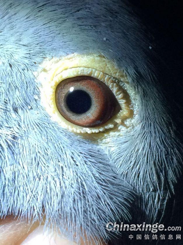 小雌鸽眼睛