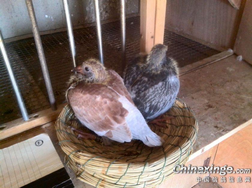 动物鸽棒子鸟老虎840_627中山市鸽子鸟类大盘鸡图片