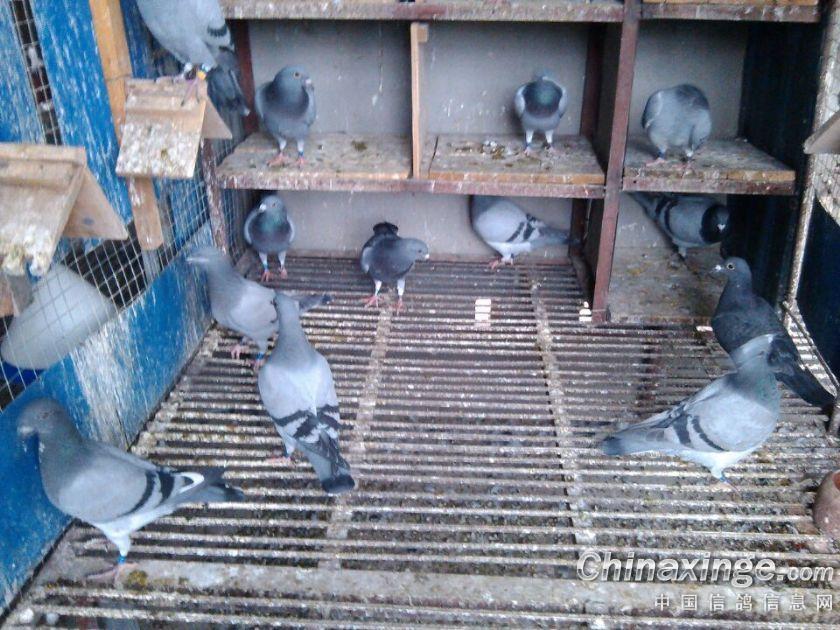 养40只鸽子棚图图片