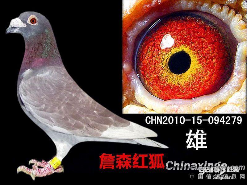 鸽系真正遗传到位的应该是浅羽色系列的大詹森鸽子