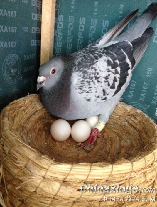 鸟类鸽东西鸟动物535_703竖版竖屏鸽子怎么吃蚂蚁喝水图片