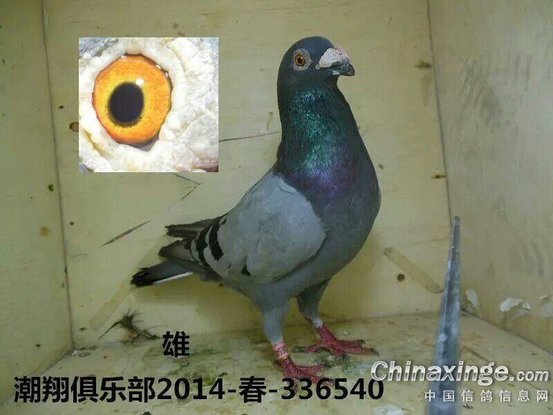 我没有好鸽子图片