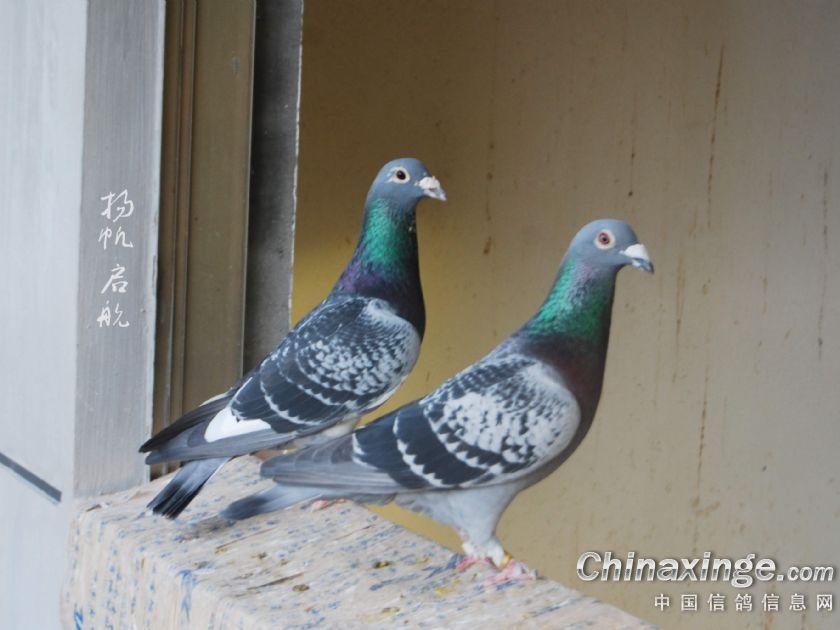 给种雌和幼鸽拍眼! (17)