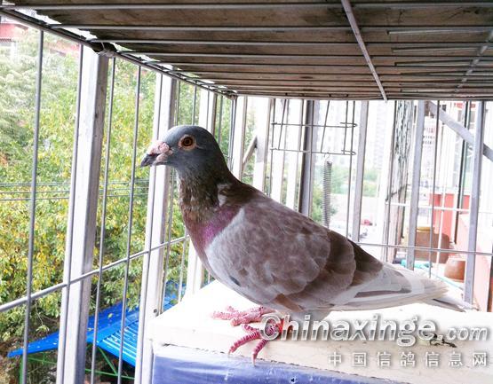 08年 老凡龙 个人喜好羽色 眼睛 中国信鸽信息