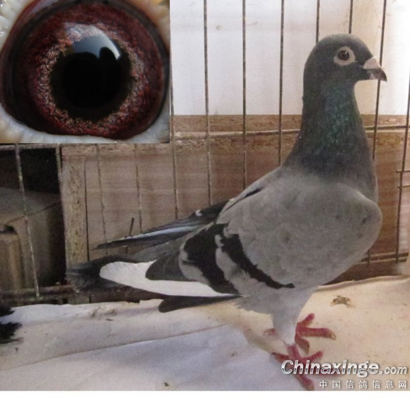 吴淞多重近血鸽--中国信鸽信息网相册