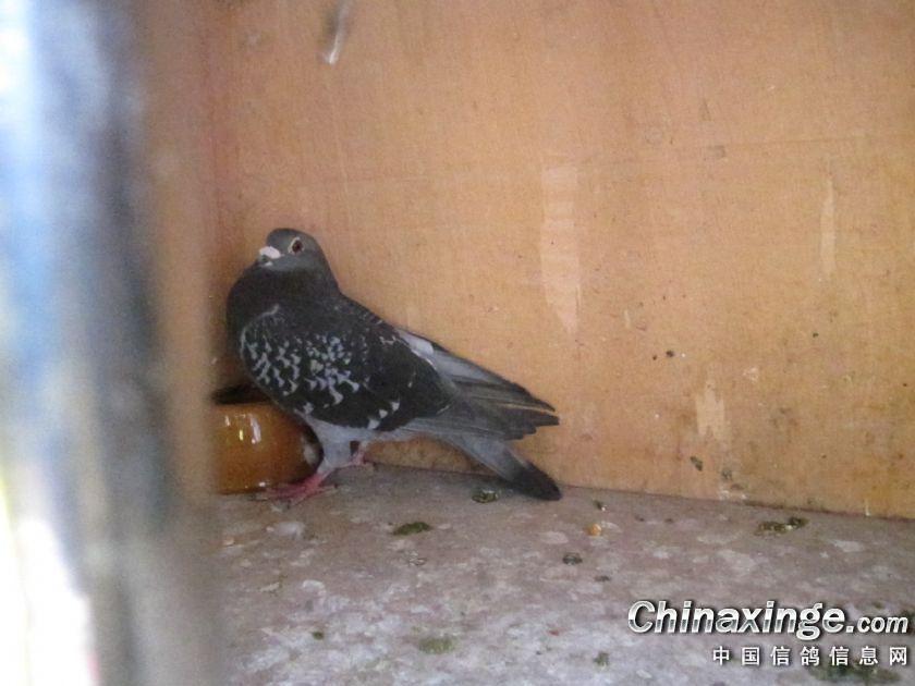 刘老先生的西翁小麻雀