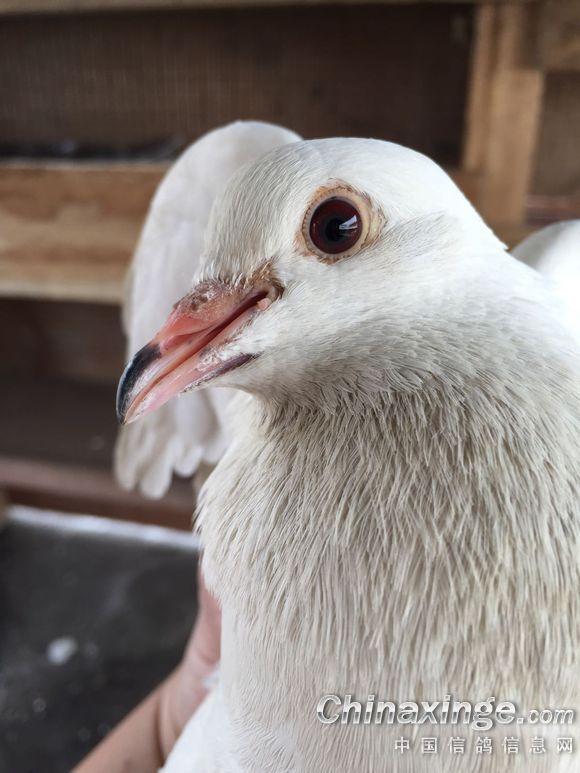 在非洲养几只土鸽子图片