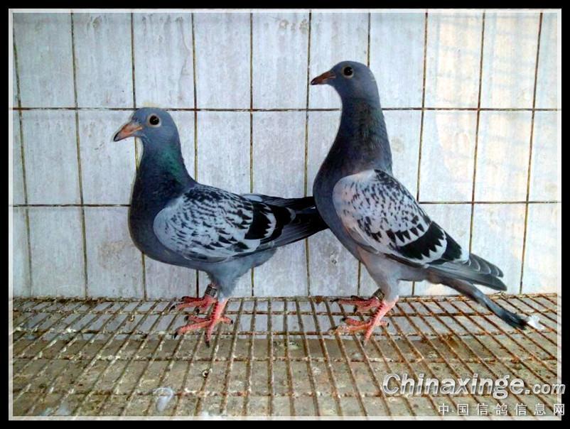 爱它们,做你的鸽子也幸福,祝你们幸福快乐 -郑居科的网络日记本图片