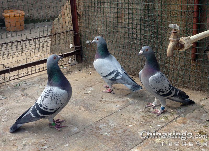 鸽子绊脚套制作图解