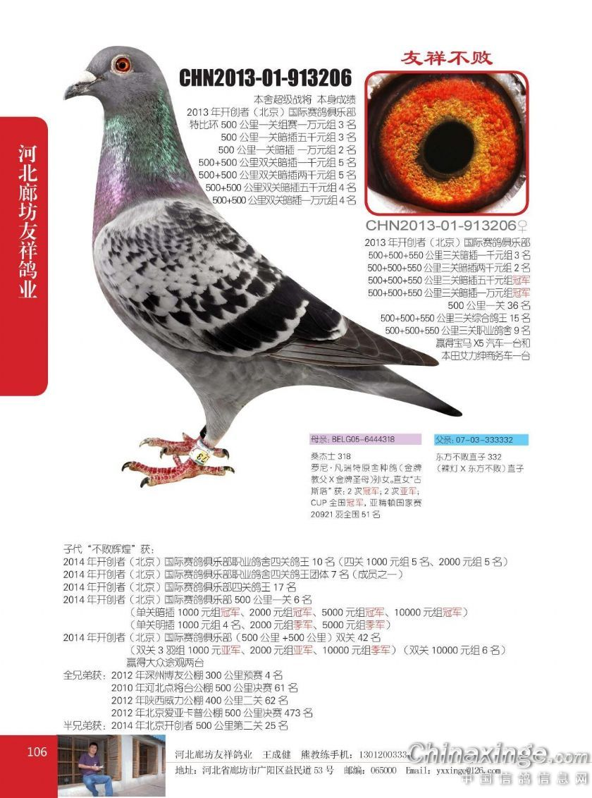 开尔鸽业白条种鸽图片