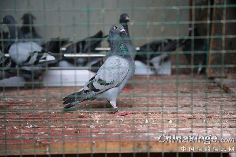 动物鸽视频鸟章鱼800_533凌人吃鸟类烧鸽子图片