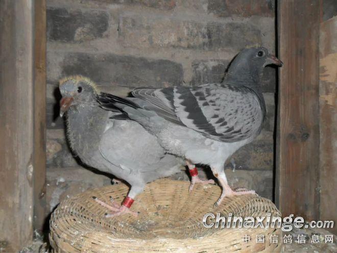 鸽子鸽鸟类鸟动物660_496大象山寺庙图片