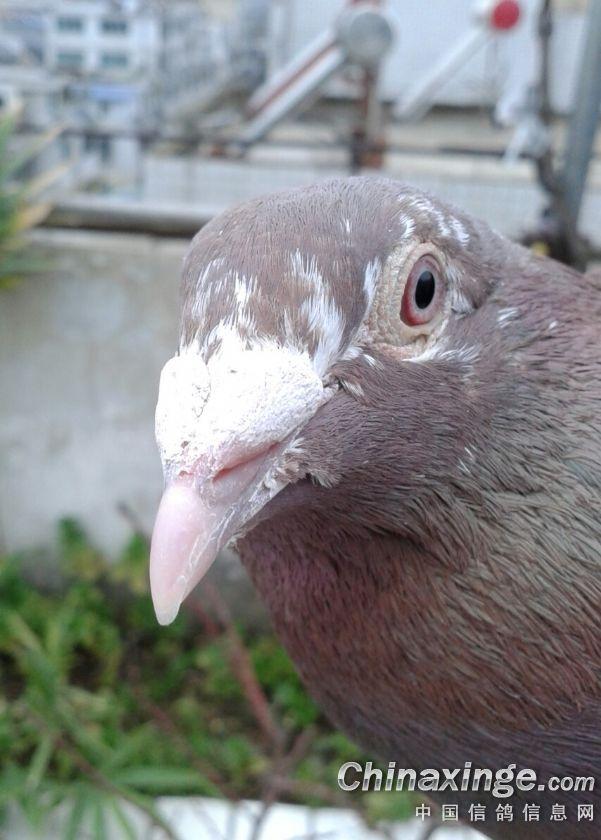 学拍鸽子眼睛