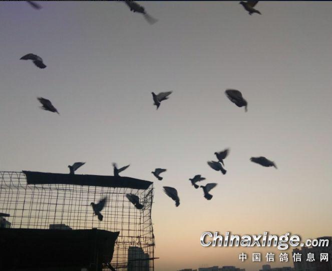图库欣赏:夕阳西下 爱鸽家飞