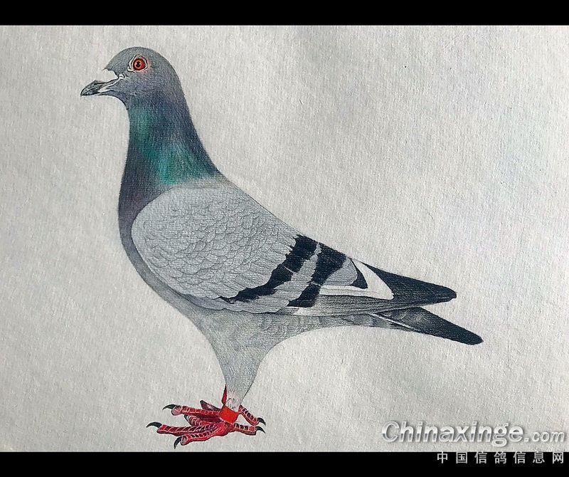 妙笔生花:水性笔彩铅手绘信鸽