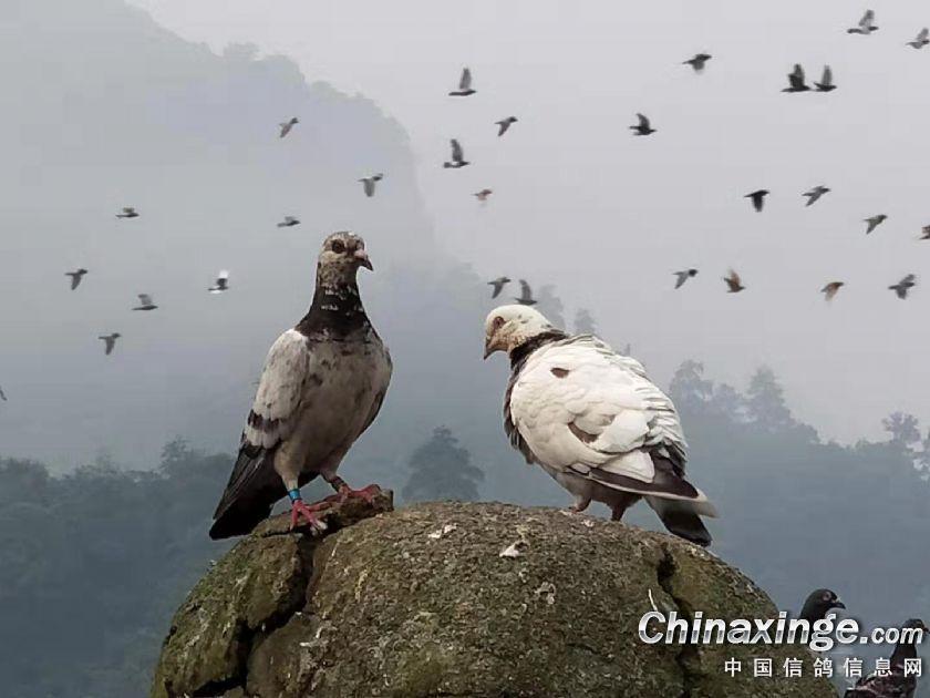 图库作品:大山里的鸽子
