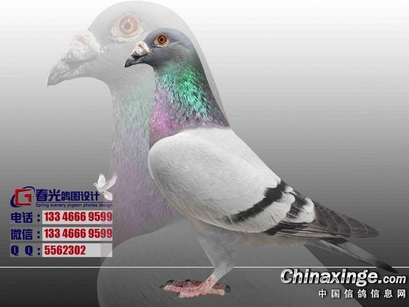 信鸽晒 设计图片