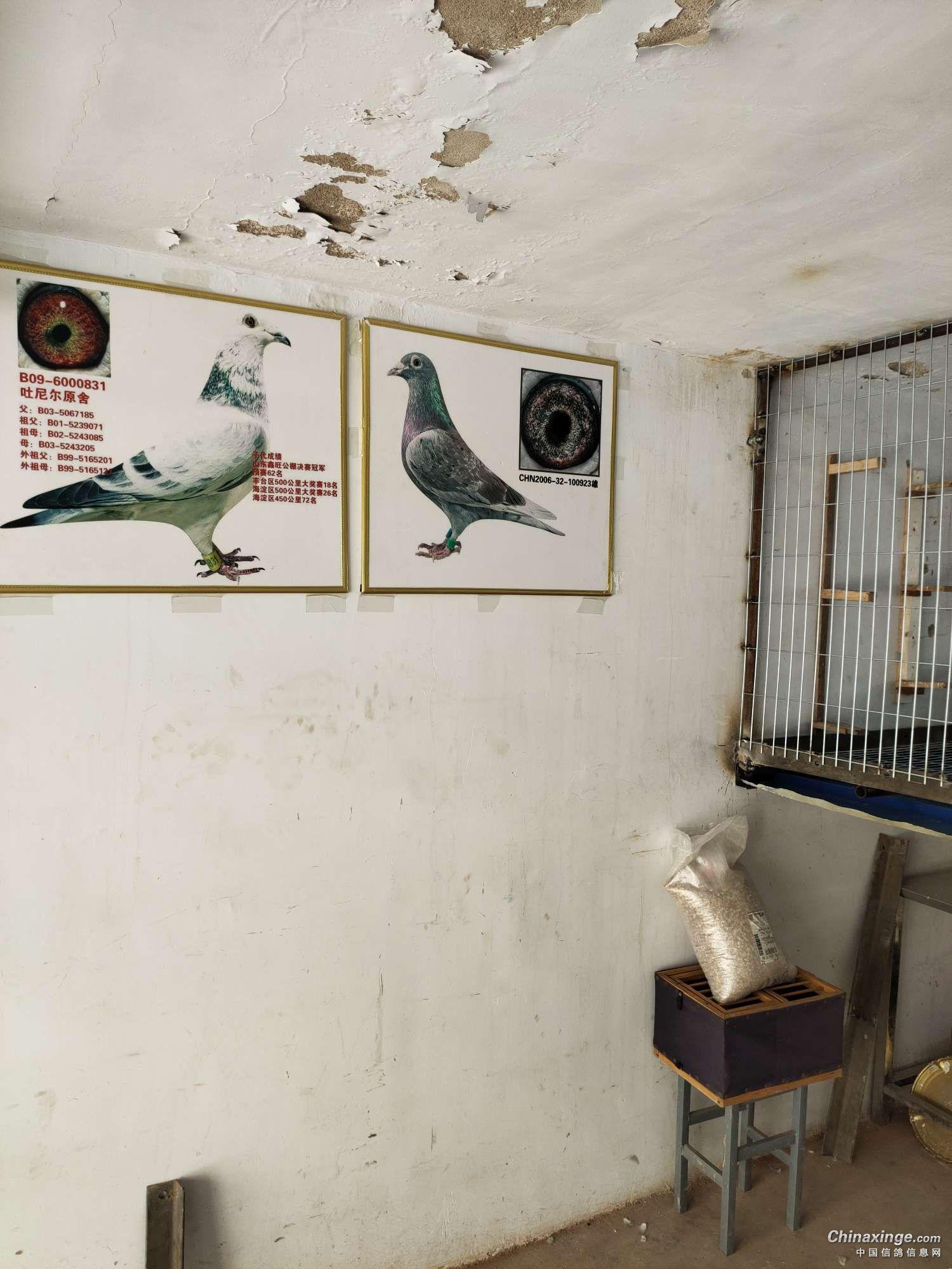 车库里建鸽舍 开启新的养鸽生涯